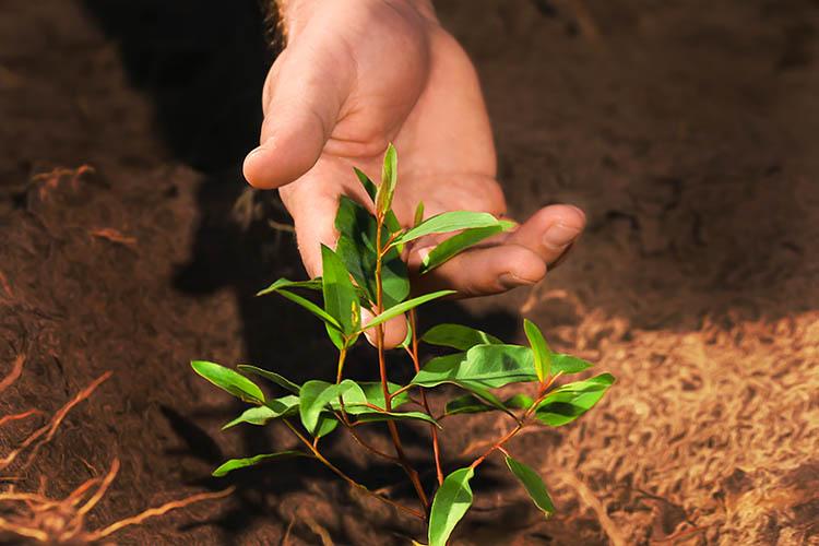 Mão toca uma muda de eucalipto em uma área florestal da Bracell / Foto: Acervo Bracell