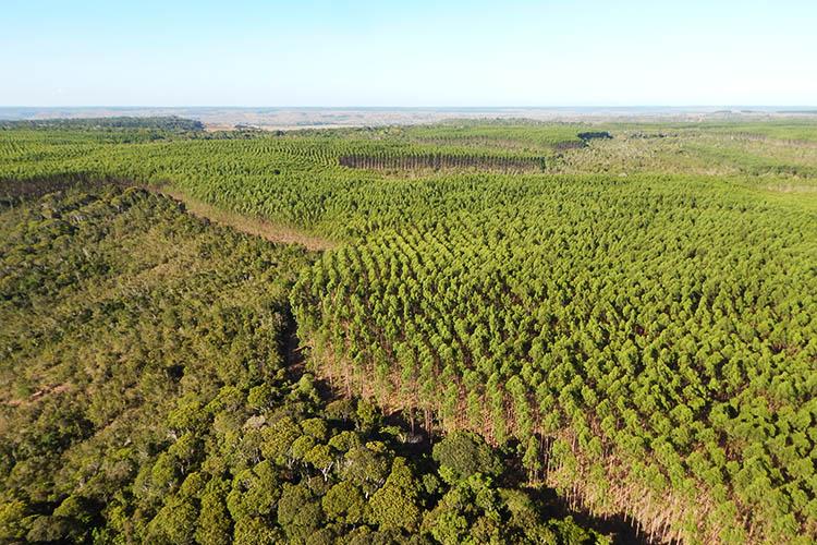 Plantio de eucalipto alternado com mata nativa / Foto: Acervo Bracell