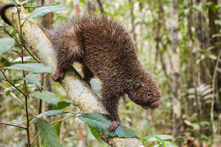 Bristle-spined Porcupine/Bracell's archives