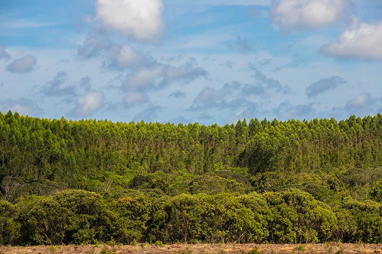 Floresta plantada de eucalipto encontra mata nativa nas áreas da Bracell